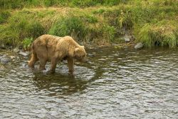 Brown Bear in River Photo