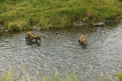 Two Brown Bear Cubs in River Photo