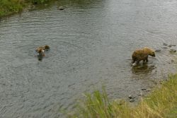 Brown Bear Sow and Two Cubs in River Photo