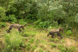 Brown Bear Cubs Photo