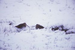 Snipe in Snow Photo