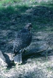 Peregrine Falcon, juvenile Photo