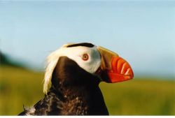 Tufted Puffin in Hand Photo