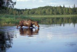 Moose Feeding in Lake Photo