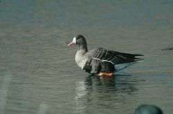 White-fronted Goose Photo