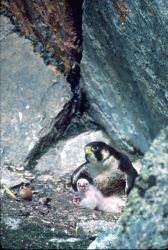Peregrine Falcon with chicks Photo