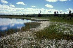 Cottongrass on Selawik Refuge Wetlands Photo