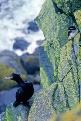 Red-faced Cormorant and Parakeet Auklet Photo