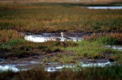 Two Bar-Tailed Godwits Photo