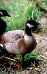 Dusky Canada Goose Photo