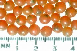Salmon Eggs Photo