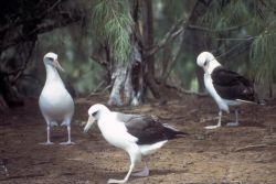 Laysan Albatross Photo