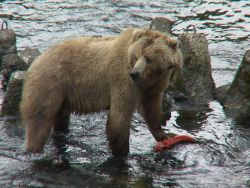 Kodiak Brown Bear Sow with Salmon Photo