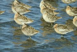 Short-billed Dowitcher Flock at Shoreline Photo