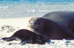 Hawaiian Monk Seal and Pup Photo