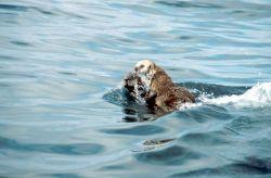 Sea Otter Photo