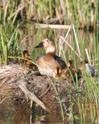 Canvasback on Nest Photo