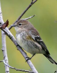 Yellow-rumped Warbler Photo