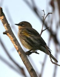Townsend's Warbler Photo