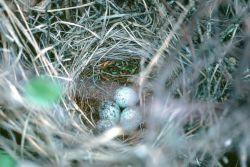 Blackbird nest Photo