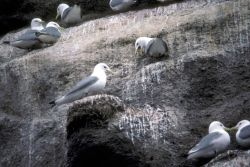 Black-legged Kittiwakes Nesting Photo