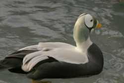 Spectacled Eider Male Photo