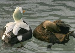 Spectacled Eider Male and Female Photo