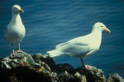 Glaucous Gulls Photo