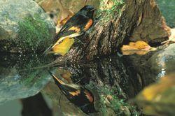American Redstart Photo