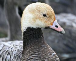 Emperor Goose Photo
