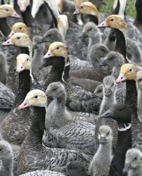 Emperor Goose Round-up Photo