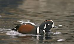 Harlequin Duck Male Photo