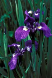 Wild Iris Photo