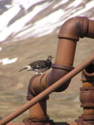 Evermann's Rock Ptarmigan3 Photo
