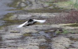 Evermann's Rock Ptarmigan in flight Photo