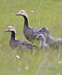 Emperor Goose Family Group Photo