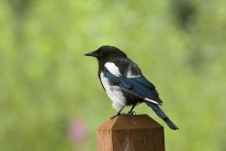 Black-billed Magpie Photo