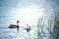 Pintail Duck Photo