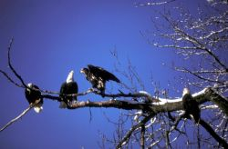 Bald Eagle Adults and Fledgling Photo