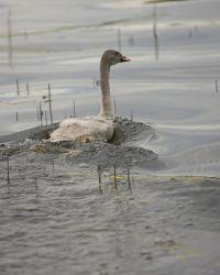Swan - Immature Photo