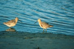Short-billed Dowitcher Pair Photo