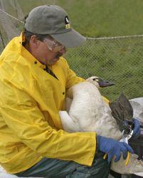 Tundra Swan - Banding Photo