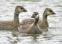 Cackling Goose Goslings Photo
