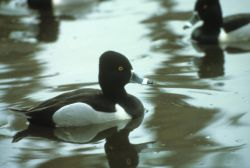Ring-necked Duck Photo