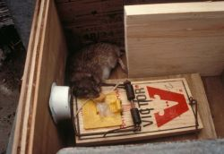 Norway rat catch in St. Paul harbor prevention station 6/96 Photo