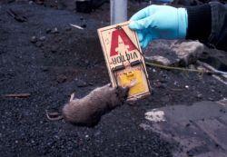 St. Paul Island rat prevention kill Photo