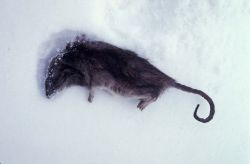 Norway rat killed in St. Paul Island prevention program Photo
