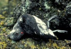 Least Auklet killed by a rat Photo
