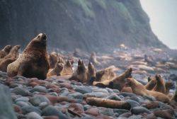 Buldir Island, Stellar Sea Lions, 1987 Photo