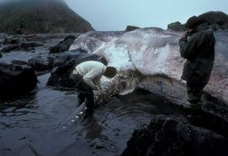 Buldir Island, beached sperm whale at Inner Rock Photo